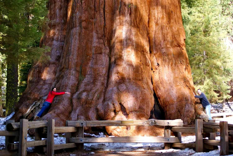 Самые большие деревья в мире — фотографии