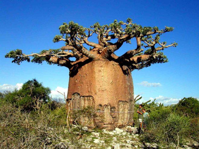 Самые большие деревья в мире - фотографии