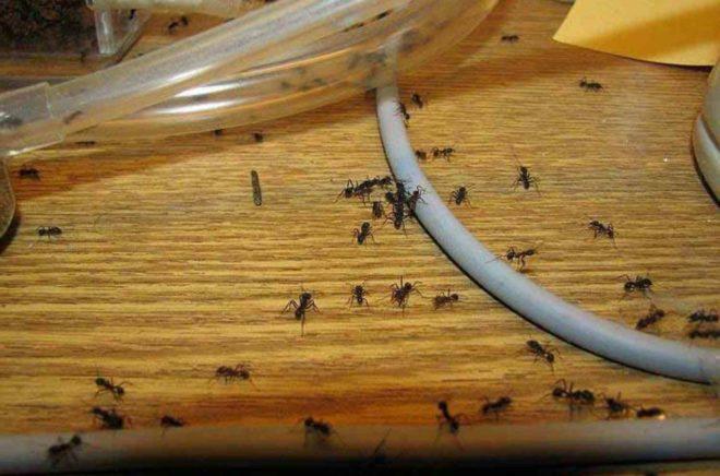 бороться с муравьями в домашних условиях
