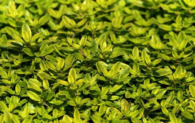 лимонный тимьян