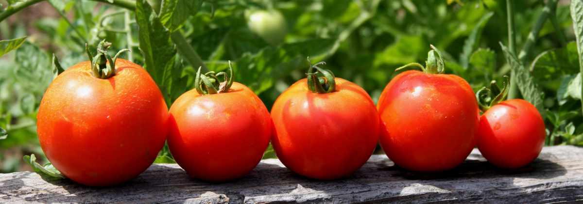 Не бойтесь выращивать томаты