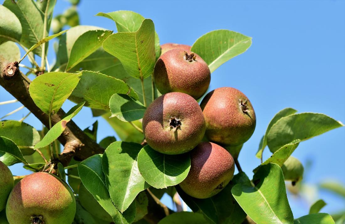 Яблоня: описание, посадка, уход