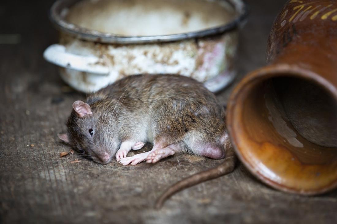 Наиболее эффективные способы при избавлении от крыс